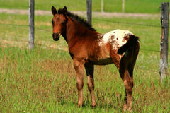 Appaloosa Colt 2. Very young Appaloosa colt out in pasture, horse Stock Photography