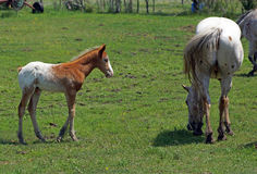 Appaloosa colt and mare Royalty Free Stock Images