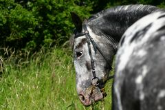 Appaloosa eating. A spotted appaloosa horse eating grass Stock Images