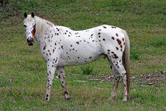 Appaloosa facing left Royalty Free Stock Image