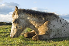 Appaloosa foal resting Stock Photos