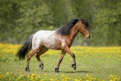 Appaloosa foal runs trot on the field Royalty Free Stock Photography