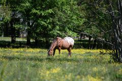 Appaloosa gelding grazing. In a spring pasture filled with yellow buttercups royalty free stock photography