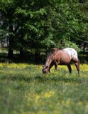 Appaloosa gelding grazing with out of focus foreground - vertical. Appaloosa gelding grazing in a spring pasture filled with yellow buttercups - vertical format royalty free stock photo