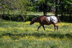 Appaloosa gelding in a spring pasture. Appaloosa gelding walking and eating in a spring pasture filled with buttercups royalty free stock photos