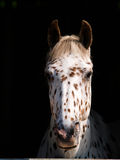 Appaloosa Head Shot. A head shot of an Appaloosa horse looking out of a stable window Royalty Free Stock Image