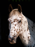 Appaloosa Head Shot Royalty Free Stock Images