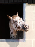 Appaloosa Head Shot Stock Image