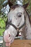 Appaloosa Horse royalty free stock photography