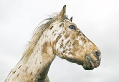 Appaloosa horse Stock Photo