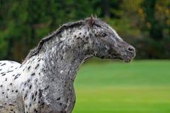 Appaloosa horse. Careful Appaloosa horse on green background Royalty Free Stock Photo