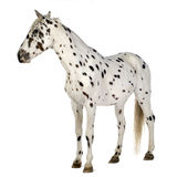 Appaloosa horse Royalty Free Stock Image