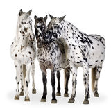 Appaloosa horse royalty free stock photos