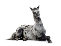 Appaloosa horse royalty free stock images