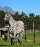 Appaloosa Horse. A appaloosa being lunged with mountain in the backround Stock Image