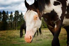 Appaloosa horse with blue eye Stock Photo