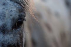 Appaloosa horse eye royalty free stock photography