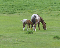 Appaloosa Horse Foal with Mare Royalty Free Stock Image