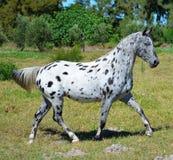 Appaloosa Horse. A leopard spotted appaloosa horse Stock Photos