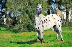 Spotted appaloosa horse outdoors running. Appaloosa horse outdoors on a farm running Stock Image