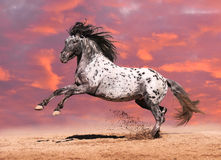 Appaloosa horse play in summer Stock Images