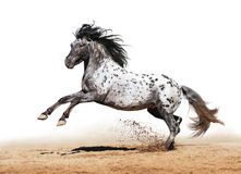 Appaloosa horse play in summer. Horse Appaloosa color play on meadow in white background Royalty Free Stock Photos