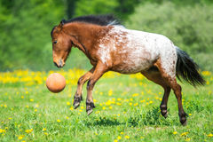 Appaloosa horse playing with a ball on the meadow in summer time Royalty Free Stock Photo