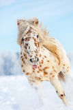 Appaloosa horse. royalty free stock photography