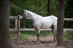Appaloosa horse portrait in summer royalty free stock photo