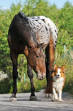 Appaloosa horse and puppy border collie. Appaloosa horse portrait in summer with puppy border collie royalty free stock photo