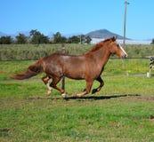 Appaloosa horse running. Appaloosa running in a paddock Royalty Free Stock Images