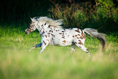 Appaloosa horse running in field Royalty Free Stock Photos