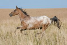 Appaloosa horse running on meadow Stock Photography
