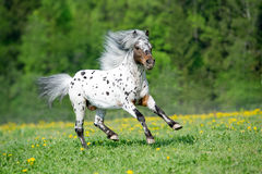 Appaloosa horse runs gallop on the meadow in summer time Royalty Free Stock Photo