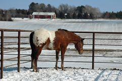 Appaloosa horse in Snow. Appaloosa horse with white blanket standing in a paddock covered in snow Stock Image