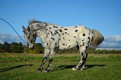 Appaloosa horse. A spotted a Appaloosa horse Royalty Free Stock Photos