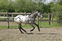 Appaloosa horse - young stallion galloping free Royalty Free Stock Photos