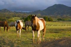 Appaloosa horses royalty free stock photo