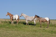 Appaloosa horses on meadow Stock Photography