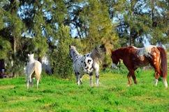 Appaloosa horses outdoors running. Appaloosa horses outdoors on a farm running Stock Image