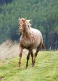 Appaloosa koń Obraz Royalty Free