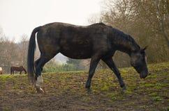 Appaloosa konia wypasać Zdjęcia Stock