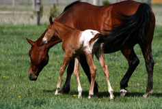 Appaloosa Mare And Colt Royalty Free Stock Image