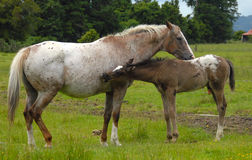 Appaloosa mare & foal Stock Photo