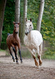 Appaloosa mare with foal running on meadow Stock Photography