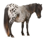 Appaloosa Miniature horse, Equus caballus. 2 years old, standing in front of white background stock photo