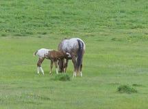 Appaloosa-Pferdefohlen mit Stute Lizenzfreies Stockbild