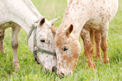 Appaloosa ponies herd grazing on paddock Royalty Free Stock Image