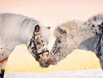 Appaloosa ponies kissing Royalty Free Stock Photo