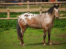Appaloosa Pony. An appaloosa pony which has been clipped stands in a paddock Royalty Free Stock Images